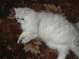 Фото: Персидська кішка любить дивитися телевізор і їсти чіпси