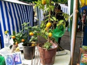Фото: У Полтаві на ярмарку продають саджанці екзотичних дерев