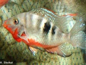 Фото: У Полтаві рибка-гопник замучила своїх господарів розбірками