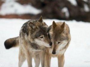 Фото: Сьогодні вовки гуляють весілля