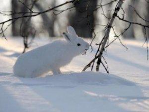 Фото: Чого чекати, якщо сьогодні побачите в лісі білого зайця