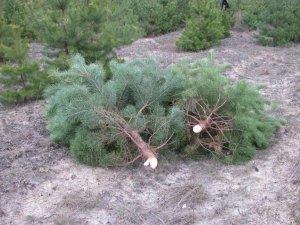 Фото: Лісівники розповіли, звідки до полтавців потрапляють новорічні ялинки (+ фото)