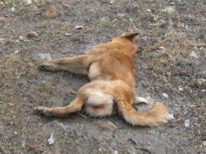 Фото: У Полтаві перехожі годину дивилися на страждання отруєного собаки