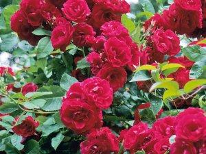 Фото: На Соборному майдані Полтави розквітне 1000 троянд