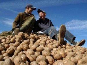 Урожай на Полтавщині: найбільше зернових та картоплі