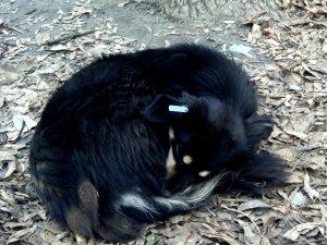 Стерилізованих безпритульних тварин у Полтаві видно за кліпсою у вусі