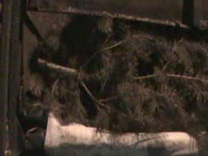Фото: На Полтавщині даішники затримали автомобіль, водій якого нелегально перевозив 150 ялинок (фото)