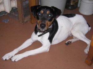 Фото: Пригоди іспанського собаки в Полтаві: як андалузький трактирний щуролов загубив і знайшов господарів