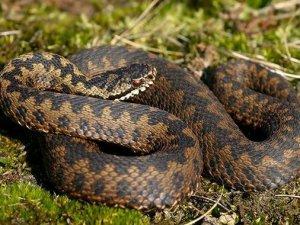 Фото: Обережно, змії кусають людей