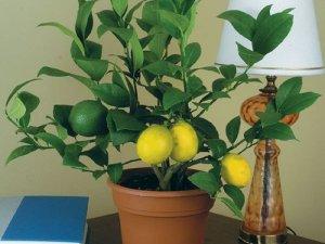 Вирощуємо лимони вдома – поради