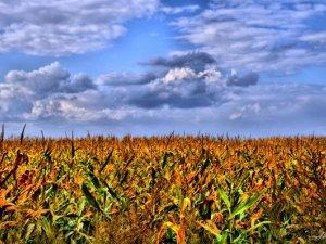 Фото: Під Полтавою горіло кукурудзяне поле
