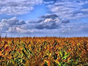 Фото: Під Полтавою знову горіло кукурудзяне поле
