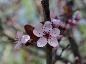 Фото: У корпусному саду у Полтаві заквітла декоративна вишня (ФОТО)