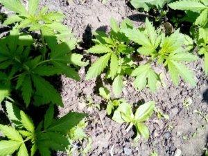Фото: У Новосанжарському районі виявили незаконний посів конопель