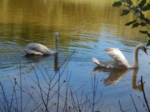 Фото: В полтавському дендропарку оселилися двоє білих лебедів