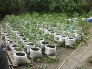 Фото: На Полтавщині виявили більше 6 тисяч рослин маку та 160 рослин коноплі