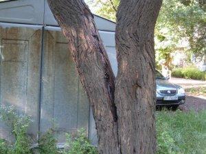 Фото: У Полтаві люди скаржаться, що аварійні дерева біля їх будинку не спилюють