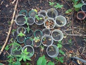 Мешканець Полтавської області вирощував розсаду коноплі