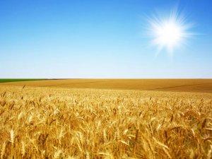 Фото: На Полтавщині планують зібрати більше півтора мільйона тонн ранніх зернових