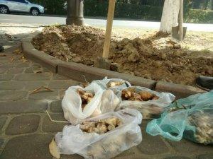 Фото: У центрі Полтави висадили більше 100 нарцисів