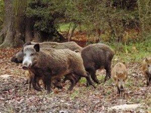 Фото: До початку сезону полювання на Полтавщині необхідно відстріляти півсотні кабанів