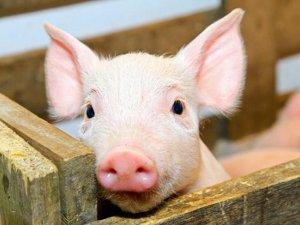Фото: У Гребінківському районі спалили 16 туш свиней із африканською чумою