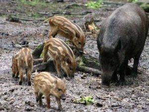 Фото: Кабмін рекомендує вибити всіх диких свиней на Полтавщині