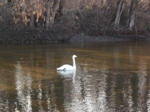 Фото: У Лубнах на річці оселився білий лебідь