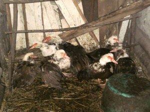 Фото: У Карлівському районі п'яний вкрав птицю і кроля