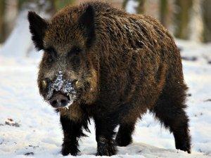 Фото: На Полтавщині знову виявили африканську чуму свиней