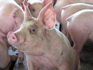 Фото: Мапа АЧС на Полтавщині розростається – вірус зафіксували на великому свиногосподарстві