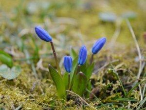 Весна прийшла в Полтаву посеред лютого – зацвіли проліски (ФОТО)