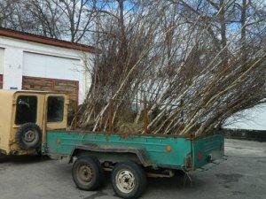 Фото: У Кобеляцькому районі чоловік викопав 100 саджанців берези