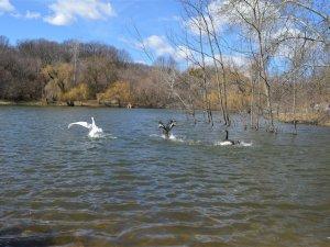 Фото: У полтавський дендропарк повернули лебедів (ФОТО)