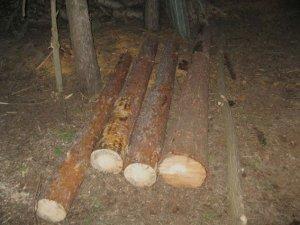 Фото: За незаконне вирубування дерев на Полтавщині двоє чоловіків можуть отримати до трьох років