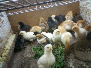 Фото: У Миргородському районі злодії вкрали в односельчанки курчат