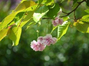 Сакура і бузок: що нині квітне у Полтаві (ФОТО)