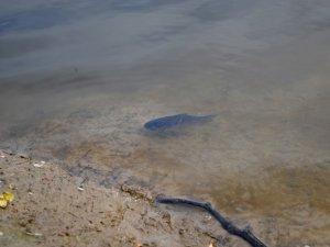 Фото: У Полтаві на берег одного із ставків викинуло кілька сотень дохлої риби