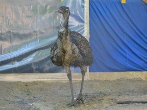 Фото: Полтавський страус Кабул став татом (ФОТО, ВІДЕО)
