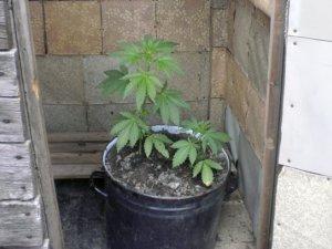Жителя Карлівки можуть засудити до трьох років за вирощування конопель