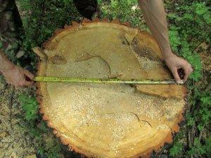 Фото: До трьох років можуть отримати чоловіки за вирубування дубів
