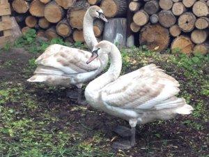Фото: У дендропарку побільшало лебедів