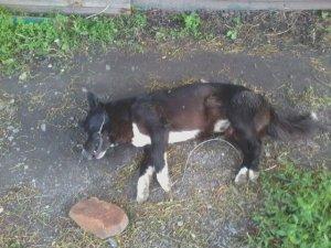 Фото: У Гребінці посеред вулиці труять собак, хоча виділили кошти з бюджету на стерилізацію