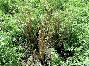 Фото: Замість городини – мак: на Полтавщині у чоловіка вилучили понад сто незаконних рослин