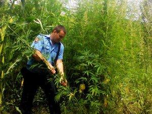 Фото: На Полтавщині на дачі чоловік вирощував чотириметрову коноплю