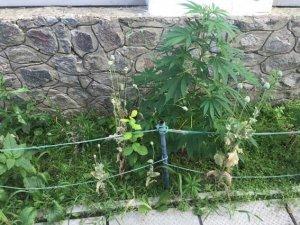 Фото: У Полтаві подружжя замість квітів вирощувало удома коноплю