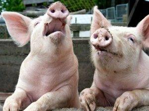 Фото: На Полтавщині зафіксували африканську чуму свиней
