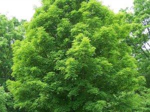 Восени у Полтаві висадять понад сотню дерев і кущів